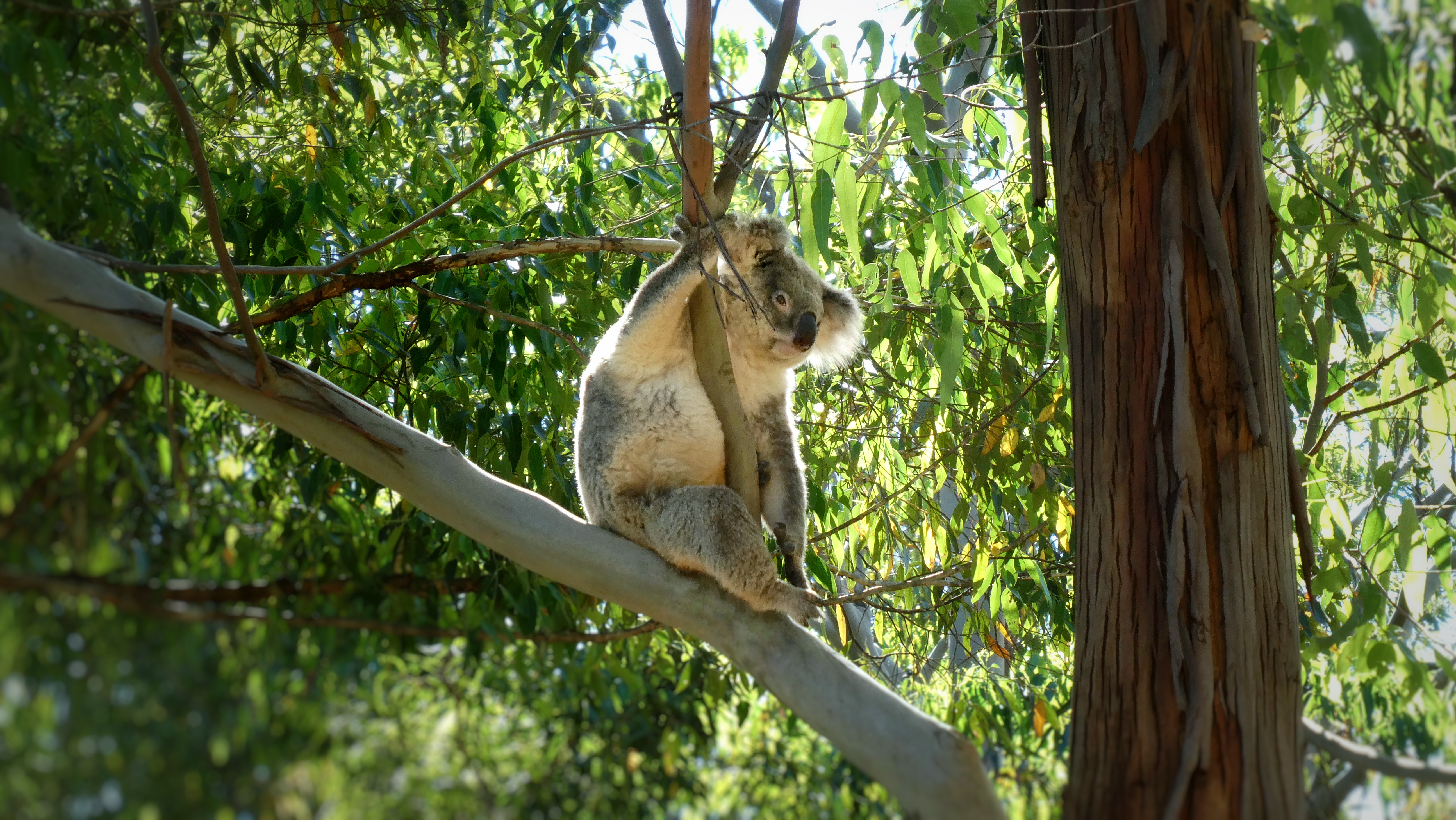 The agony and extinction of Blinky Bill